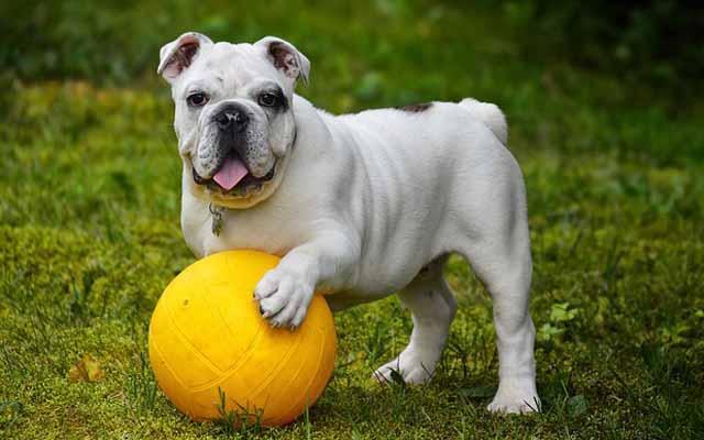 english-bulldog-562723_640