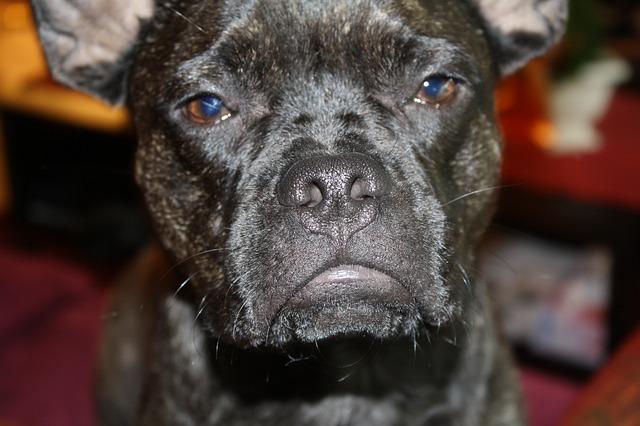 bulldog-477630_640