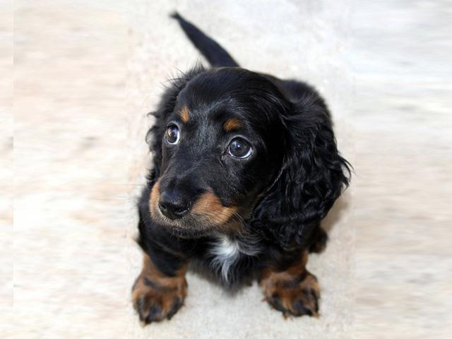 dachshund-16734_640
